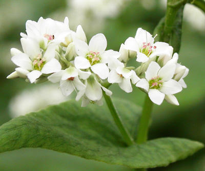 Beautiful_buckwheat_flowers (6)